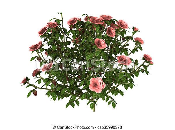 Line Drawing Of Rose Plant : D illustration pink rose bush on white of a