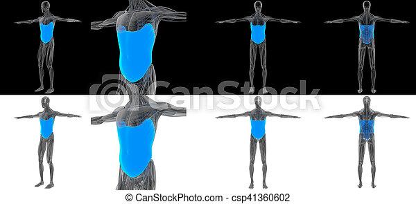 3D render illustration of the Obliquus Externus - csp41360602