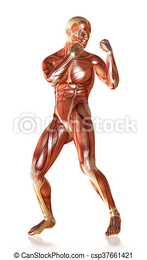 3d render of a male muscular anatomy in defence pose.