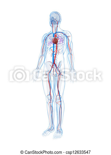 3d rendered illustration of the human vascular system - csp12633547