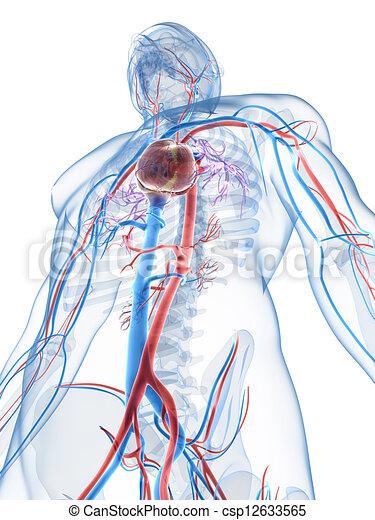 3d rendered illustration of the human vascular system.