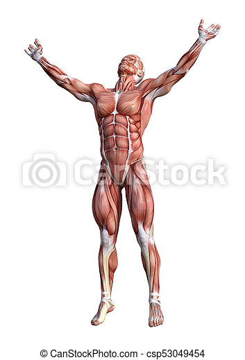 3d Rendering Male Anatomy Figure On White 3d Rendering Of A Male
