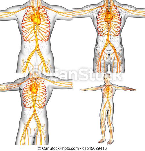 3d rendering medical illustration of the human vascular system.