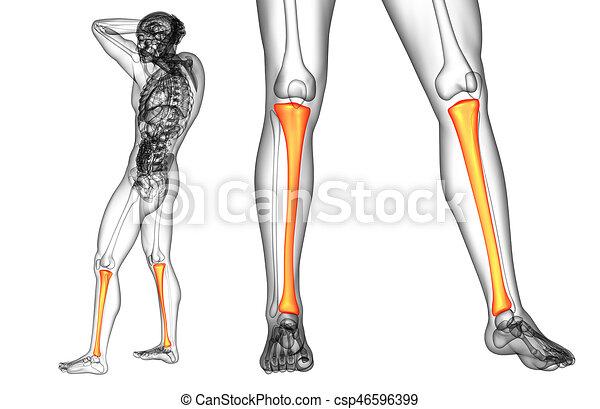 3d Rendering Medical Illustration Of The Tibia Bone Stock