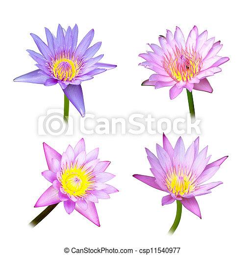 4 lotus on white background - csp11540977