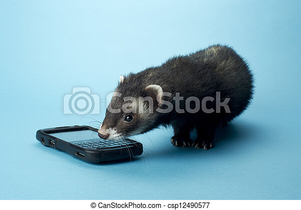 430 ferret with cellphone - csp12490577