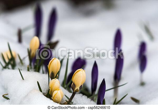 açafrões, neve, amarela, derretendo - csp56246610