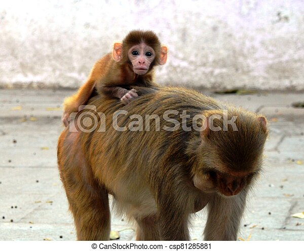A baby monkey with mother - csp81285881