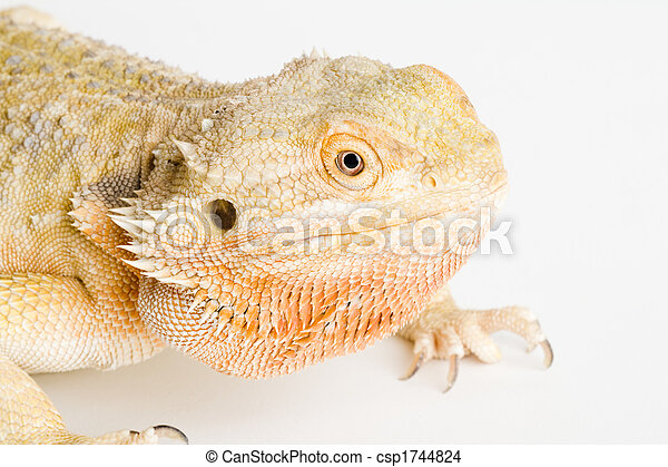 a bearded dragon - csp1744824