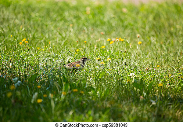 A beautiful, brown common starling female feeding in the grass before migration. Adult bird in park. - csp59381043