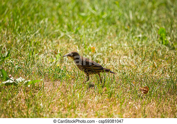 A beautiful, brown common starling female feeding in the grass before migration. Adult bird in park. - csp59381047