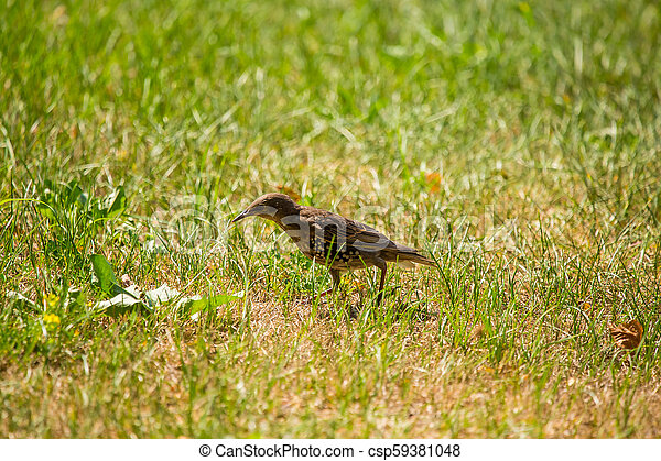 A beautiful, brown common starling female feeding in the grass before migration. Adult bird in park. - csp59381048