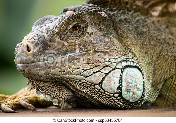 a beautiful iguana portrait - csp53455784