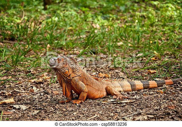 A beautiful iguana - csp58813236