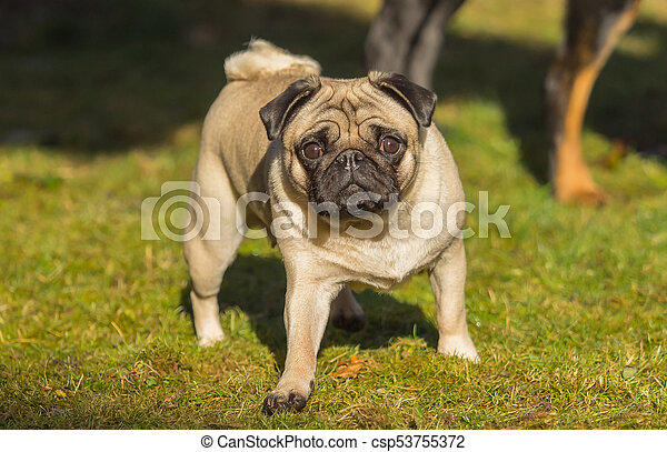 A beautiful pug stands in the meadow - csp53755372