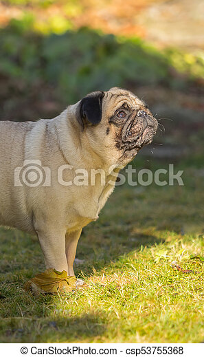 A beautiful pug stands in the meadow - csp53755368