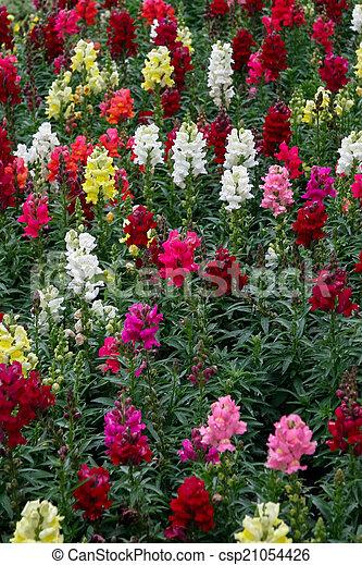 A bed of multicoloured Antirrhinums - csp21054426