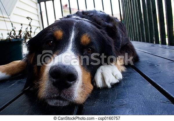 A bernese mountain dog - csp0160757