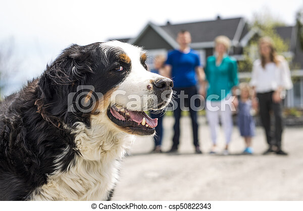 A Bernese Mountain dog with family blur on the back - csp50822343