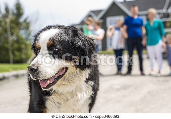 A Bernese Mountain dog with family blur on the back - csp50466893