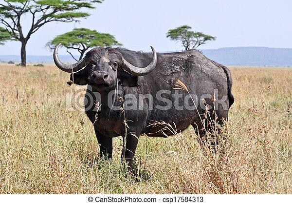 A big big buffalo of the Tanzania's national park - csp17584313
