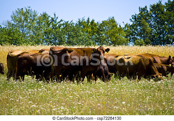 A big cow Herd on a meadow in Bavaria, Germany - csp72284130