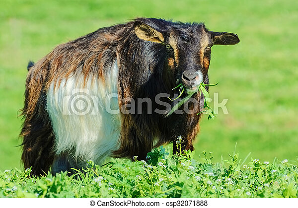 A Billy Goat - csp32071888