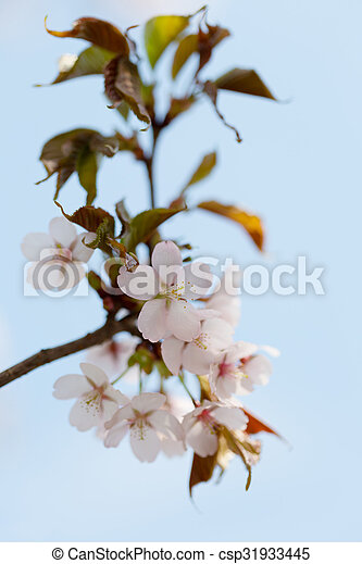 A branch of cherry blossoms against the blue sky - csp31933445