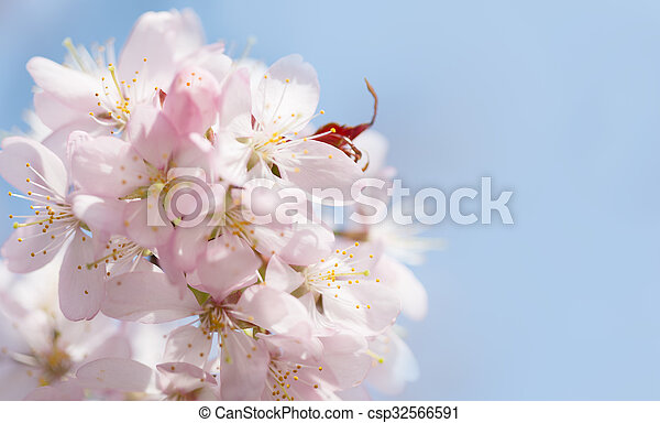 A branch of cherry blossoms against the blue sky - csp32566591