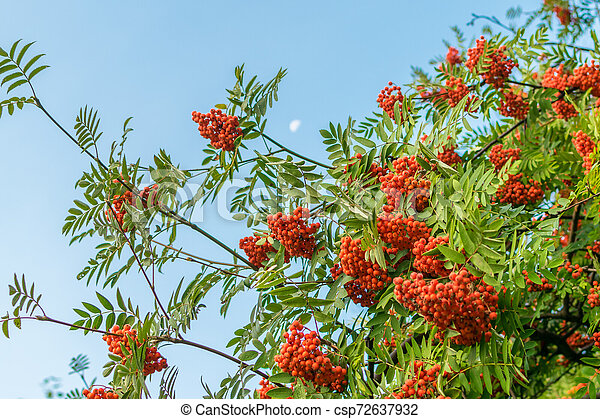 A branch of ripe red rowan against the sky in autumn - csp72637932