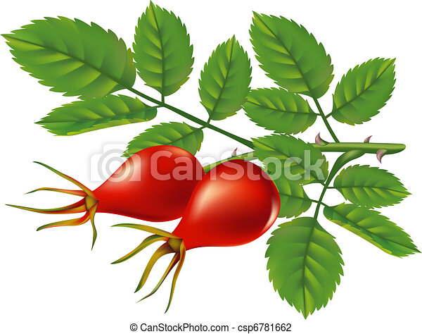 A branch of wild rose hips. Vector illustration. - csp6781662