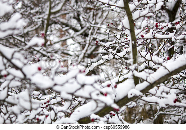 A branch of wild rose in the snow. Winter beautiful nature - csp60553986