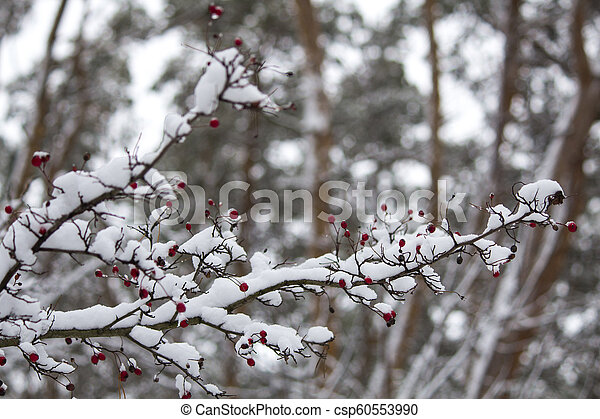 A branch of wild rose in the snow. Winter beautiful nature - csp60553990