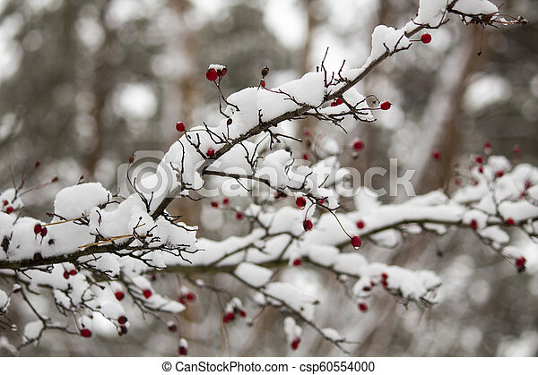 A branch of wild rose in the snow. Winter beautiful nature - csp60554000