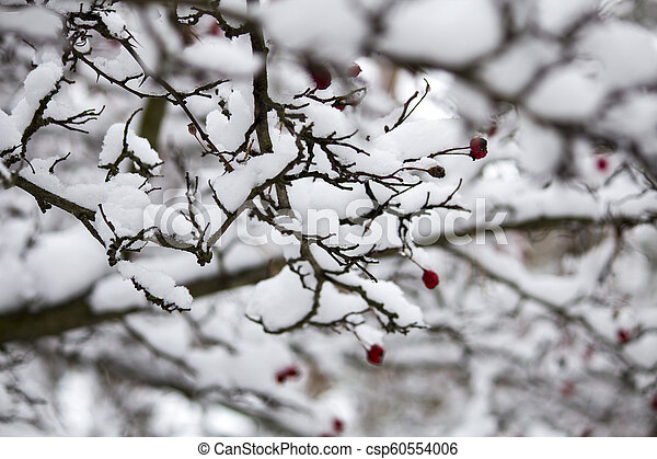 A branch of wild rose in the snow. Winter beautiful nature - csp60554006