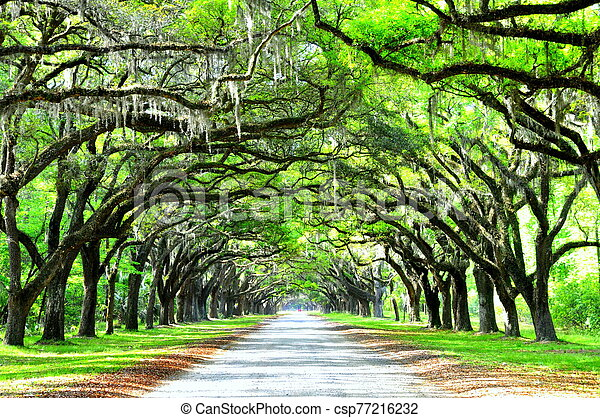 A breathtaking road sheltered by live oak trees and Spanish moss near Wormsloe Historic Site, Georgia, U.S.A - csp77216232