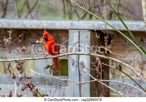 A Bright Red Male Cardinal Bird in a Tree - csp32890079
