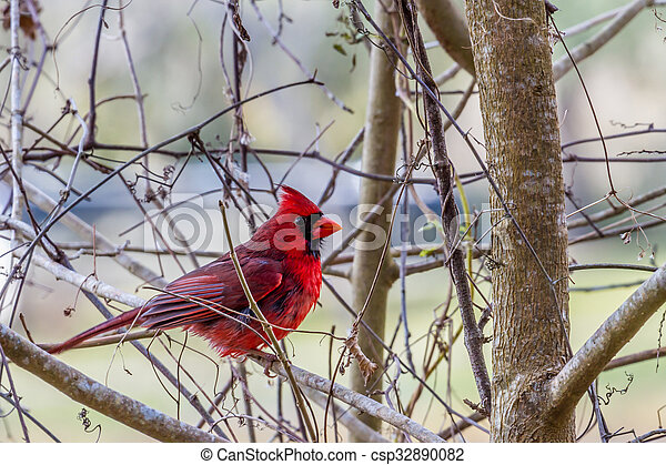 A Bright Red Male Cardinal Bird in a Tree - csp32890082
