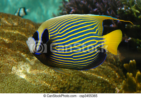 Tropical Angelfish | A Bright Tropical Fish With Stripes Emperor Angelfish Stock