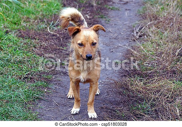a brown dog stands on a path in green grass - csp51803028