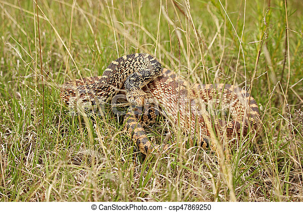 A bull snake in the grass prepares to strike. - csp47869250