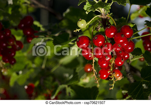 A bunch of redcurrant berries grow on a green bush under the sun's rays - csp70621507