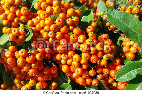 A Bush Pyracantha With The Orange Berries In Autumn
