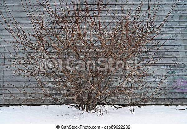 A bush without leaves on the background of the fence in winter - csp89622232