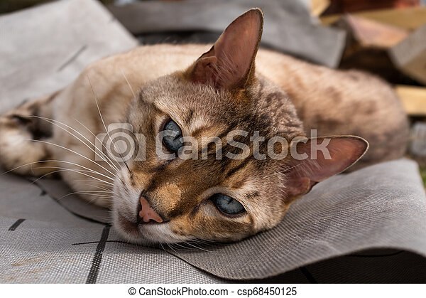 A close up of a bengal cat lying on the ground looking at the camera with beautiful eyes - csp68450125