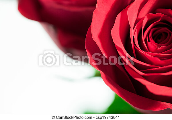 A close up of a red rose on a white background. - csp19743841