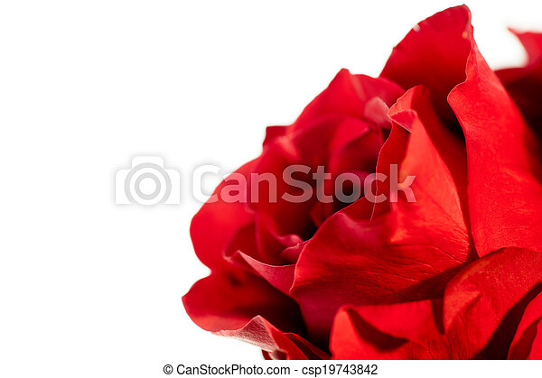 A close up of a single red rose on a white background. - csp19743842