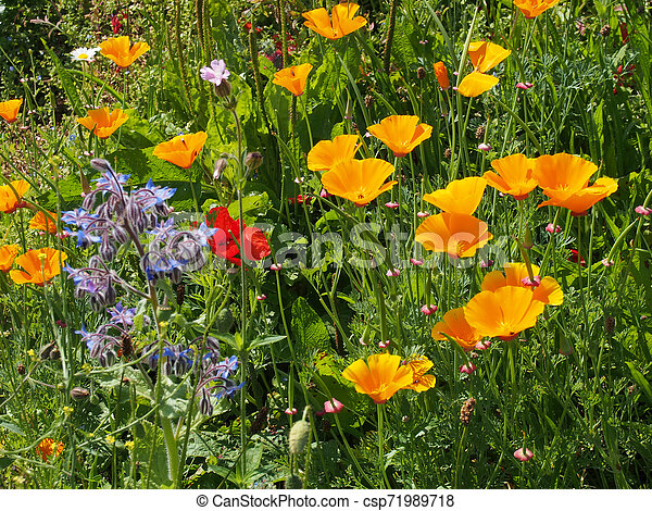 a close up of vivid yellow california poppies a red poppy and other wildflowers flowering in a meadow in bright summer sunlight - csp71989718