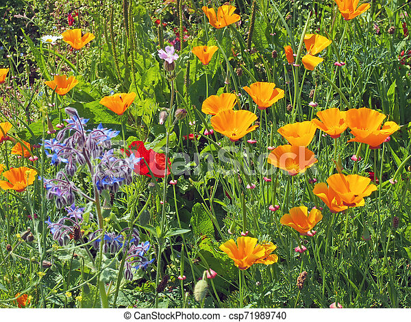 a close up of vivid yellow california poppies a red poppy and other wildflowers flowering in a meadow in bright summer sunlight - csp71989740