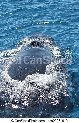 A close up view of humpback blow holes - csp23381910